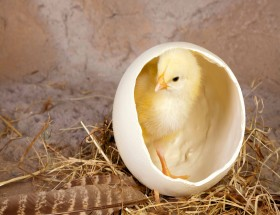 Baby Chicken in Egg image