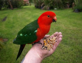 Red tamed parrot on hand photo